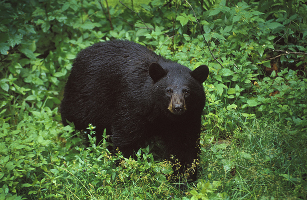 Hide your brew asap! The Black bear is back! Photo Courtesy: The Wild Center